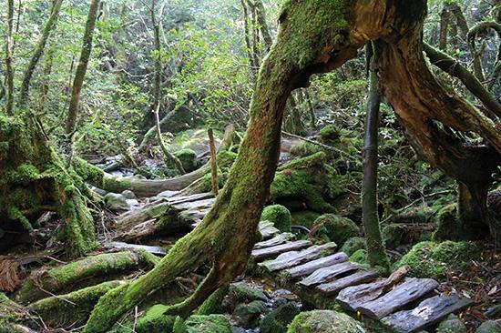 <div align=right><font color=blue>ⓒ김응용 제공</font></div>시라타니 협곡(위)을 걷다 보면 이끼 낀 계곡이 연주하는 물소리를 들을 수 있다. 매끈하게 길을 닦는 대신 버려진 나무와 돌을 활용해 길을 보완했다.