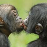 우리 안의  보노보 침팬지